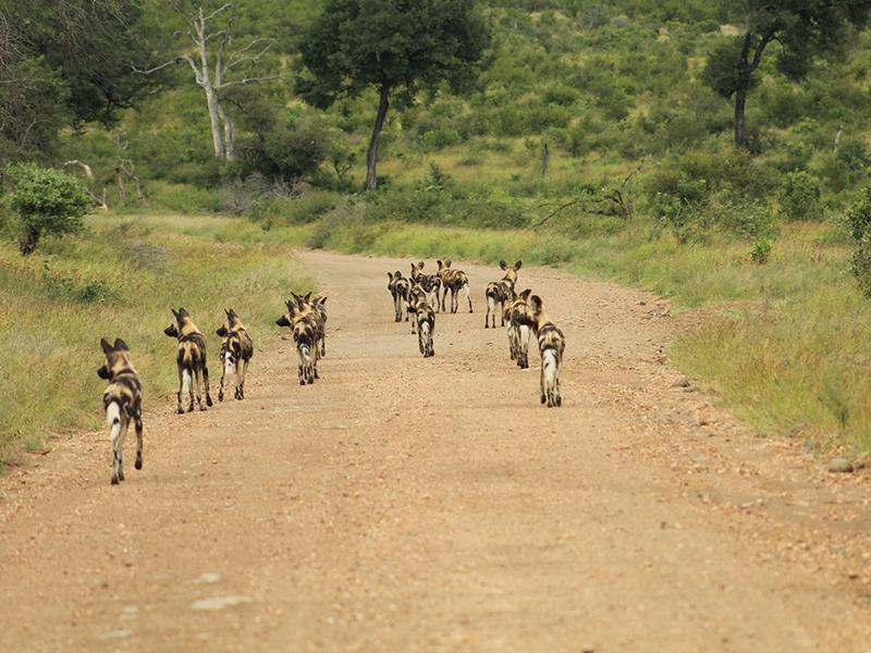 safari game drive kruger national park