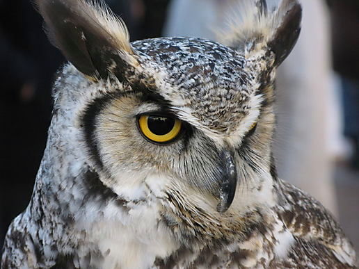 african-eagle-owl