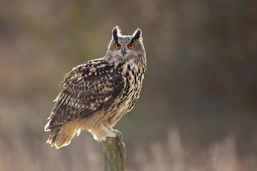 eagle-owl-
