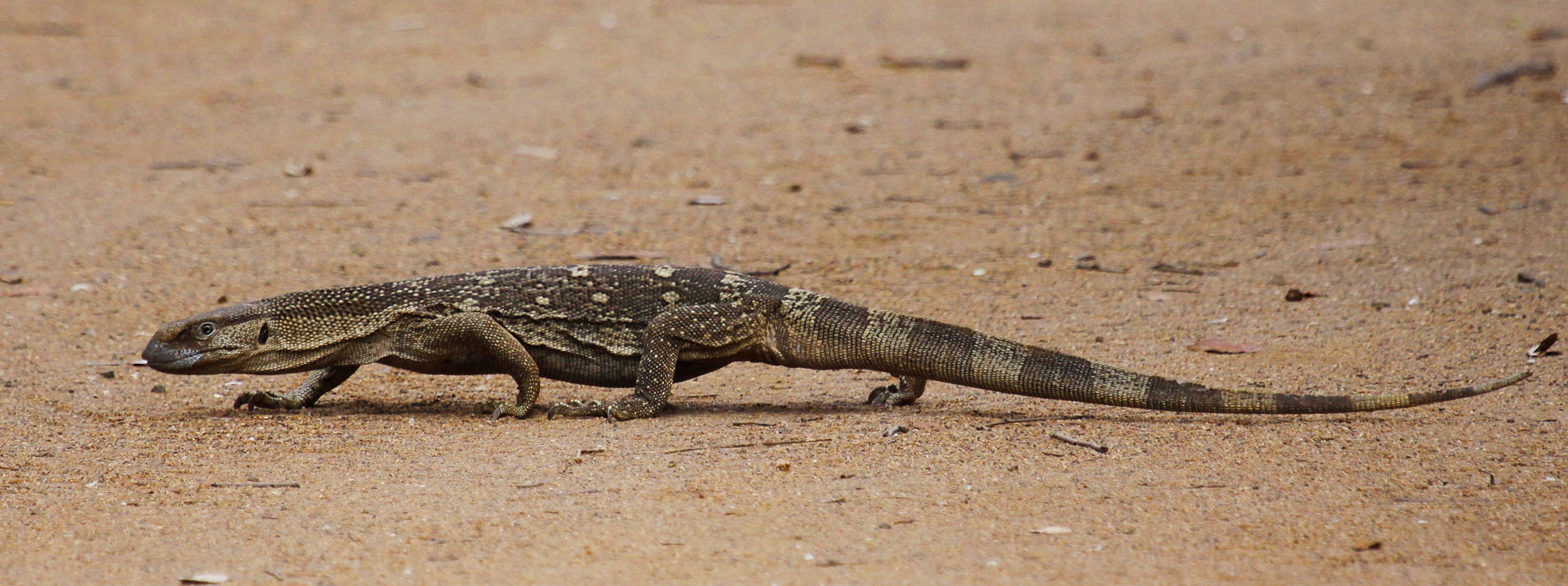 errestrial leguaan (monitor lizard) at Kruger Park