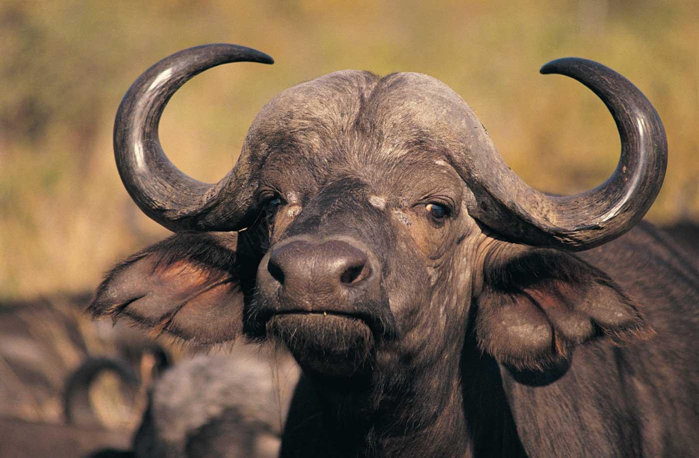 bueffel-buffalo-4g